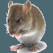дератизация мышей и крыс